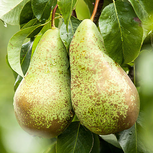 Pear Pyrus communis Conference