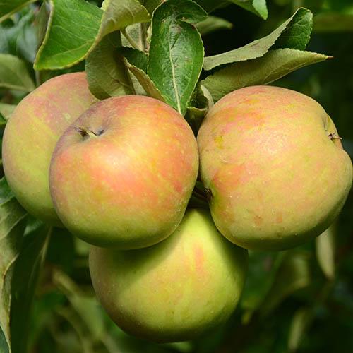 Apple Patio Elstar