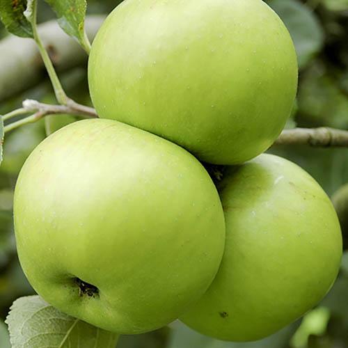 Bramley Apple tree