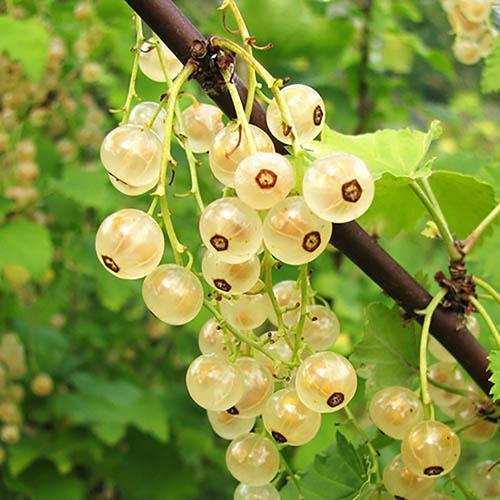 Whitecurrant White Versailles