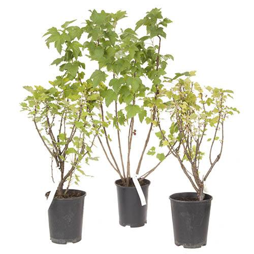Complete Currant Bush Collection - 3 bushes
