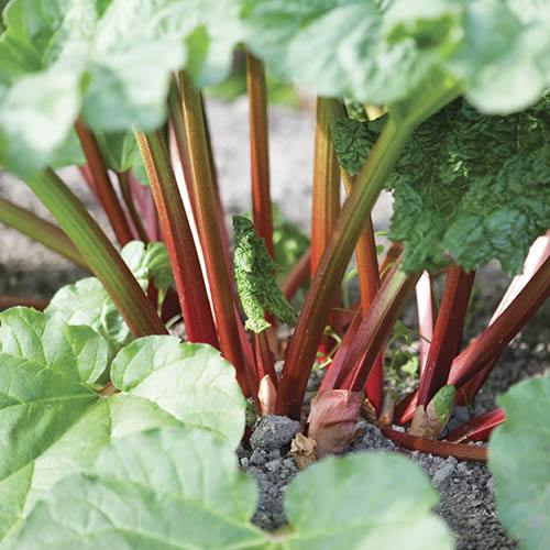 Long season cropping Rhubarb Livingstone
