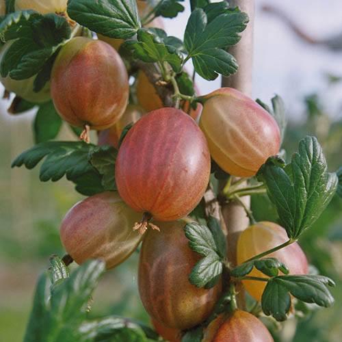 Premium Gooseberry Captivator