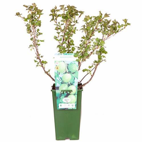 Premium Gooseberry Invicta