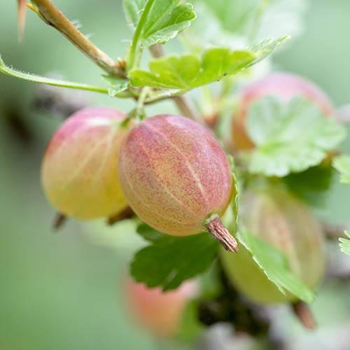 Standard Gooseberry Invicta bare root