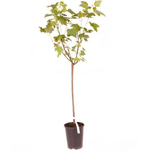 Standard Blackcurrant Ben Lomond  bare root