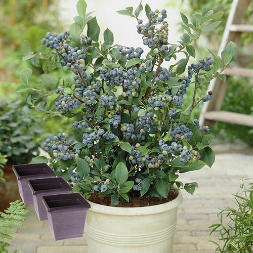 Bluberry Collection with Pots
