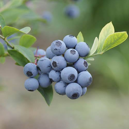 Blueberry Bluegold
