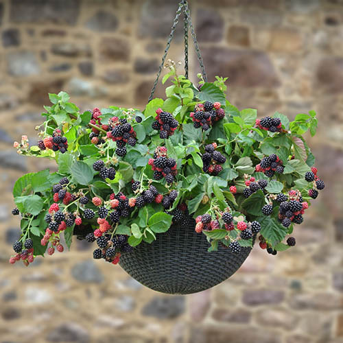 Trailing Blackberry Black Cascade 9cm