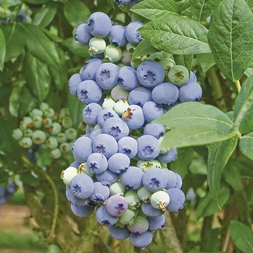 Blueberry Bluecrop 5L