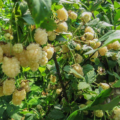Blackberry Polar Berry 9cm Potted
