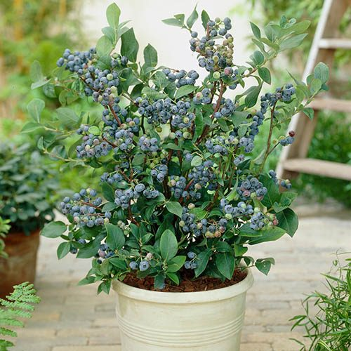 Blueberry Collection with Decorative Pots