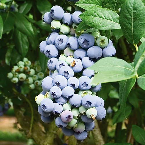 The Complete Blueberry Growing Kit