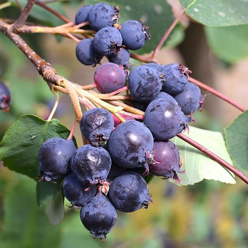 Greatberry (R) Amelanchier alnifolia Garden