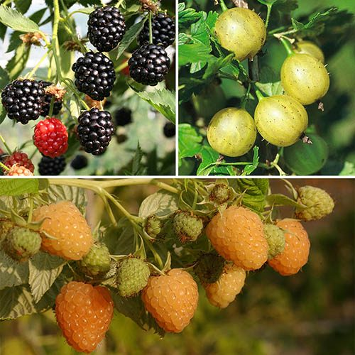 Organic Fruit Bush Collection - 3 bushes