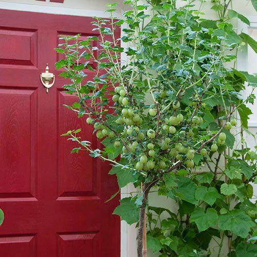 Gooseberry Hinnomaki Green 3L Standard 90cm