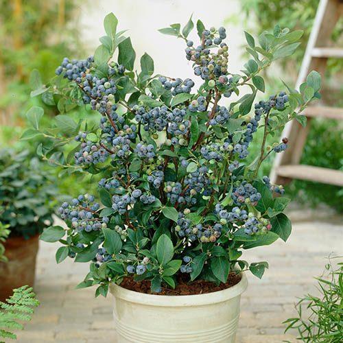 Blueberry vaccinium (late season)