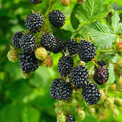 Blackberry Coolaris Early