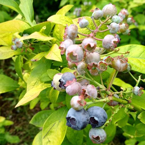 Blueberry Superfruit Collection