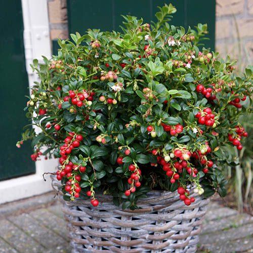 Lingonberry Vaccinium vitis-idaea Miss Cherry