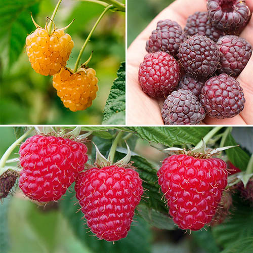 Raspberry Summer Lovers Collection