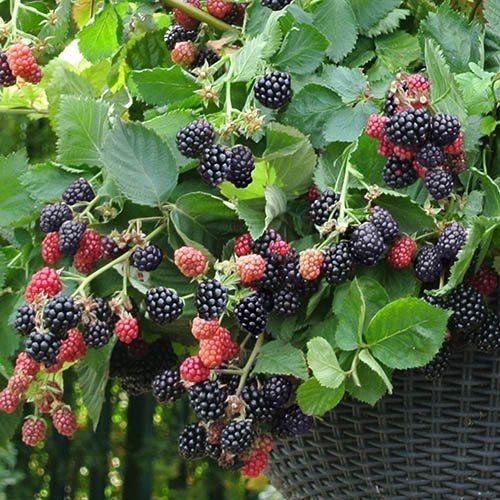 Set of 3 Trailing Blackberry Black Cascade