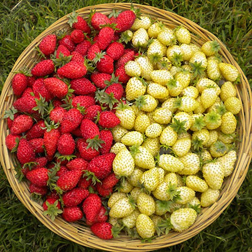 Alpine Strawberry Scarlet Beauty