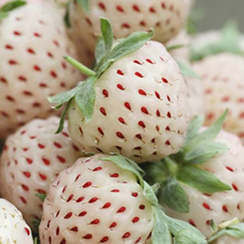 Pineberry - The White Strawberry