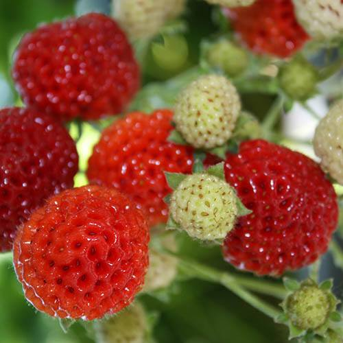 Strasberry - The Raspberry Strawberry