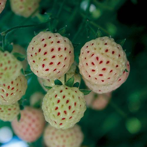 Pineberry Natural Albino White Strawberry