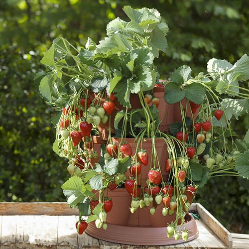 Strawberry 'Growin-Pod' Planters with 4 Strawberry Runners