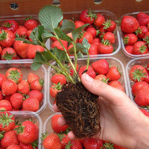Ultimate Strawberry Grow Pod System - 12 Pods, Watering Tray & 12 Plants
