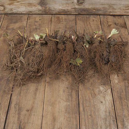 Strawberry Cambridge favourite trayplants x 6