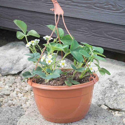 Strawberry Hanging Basket Pair.
