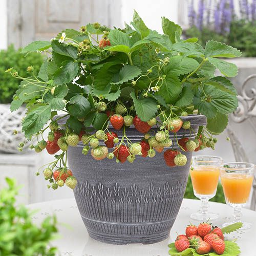 Strawberry In Container Growing: Premium Strawberry Planter