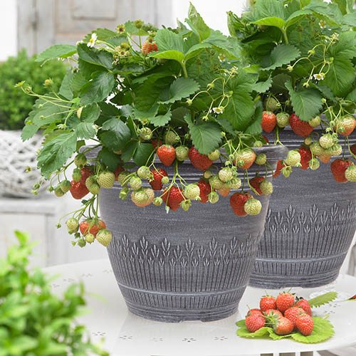 Pair Premium Strawberry Planters