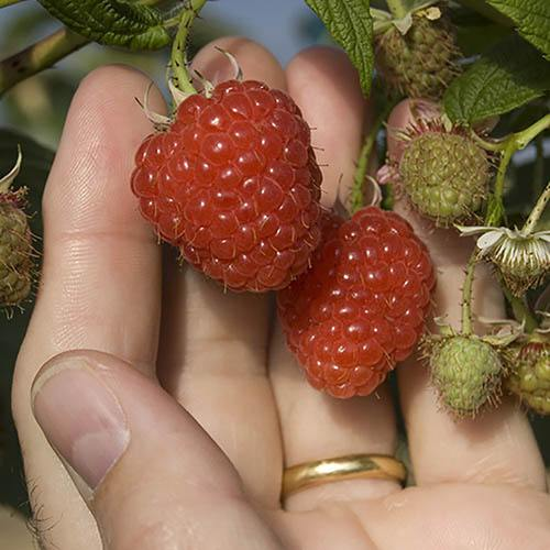 Raspberry Long-Cane