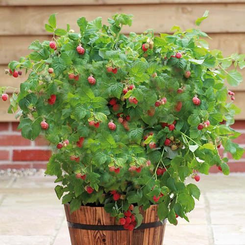 Patio Raspberry 'Ruby Beauty'