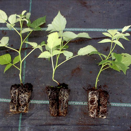 Complete Raspberry Collection includes 12 Plug Plants
