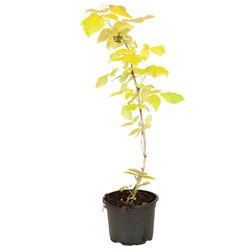 Rubus idaeus Groovy 12cm