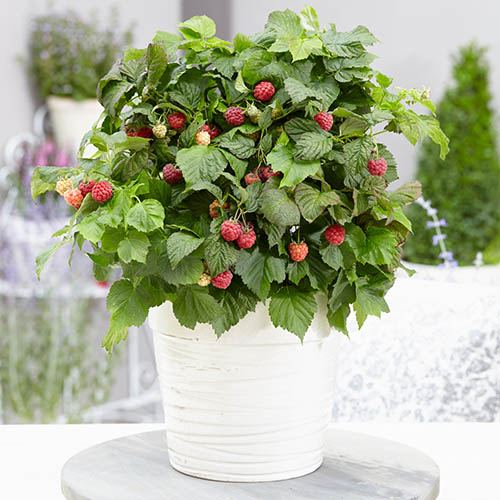Patio Raspberry Rubus idaeus Yummy