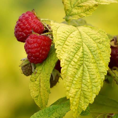 Pair of Patio Raspberry Plants
