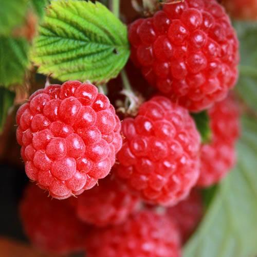 Patio Raspberry Sweet Sunshine