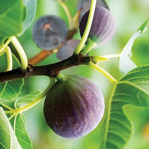 Pair of Fig 'Brown Turkey' Fruit Plants in 9cm Pots to Grow Your Own