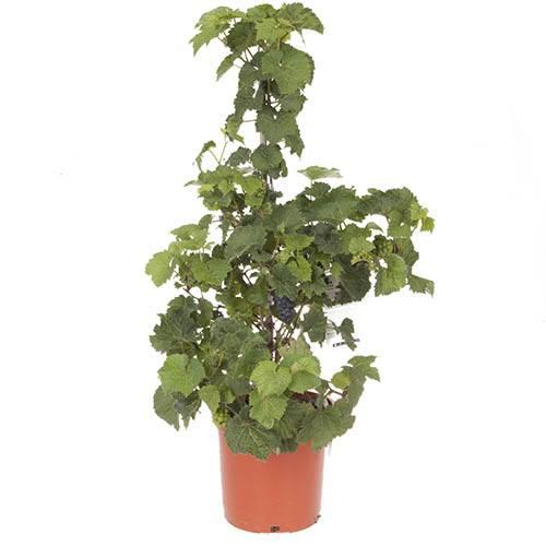 Grapevine specimen Marechal Foch