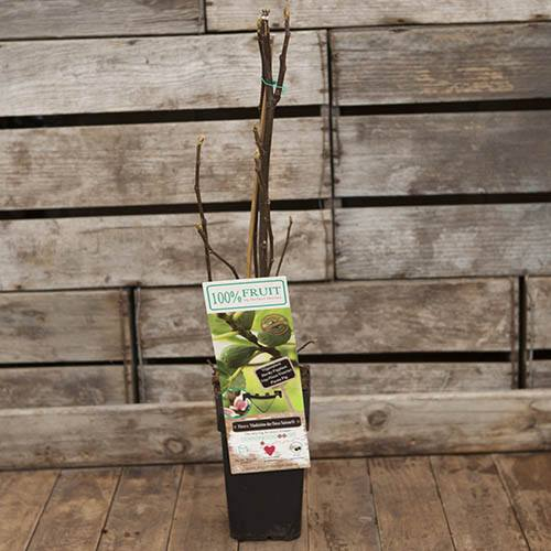 Hardy Fig Madeleine des Deux Saisons Plant in a 2L Pot to Grow Your Own