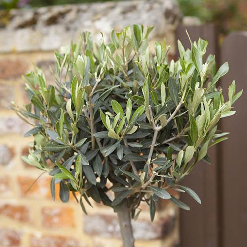 Pair Mini Standard Olive Trees 60cm