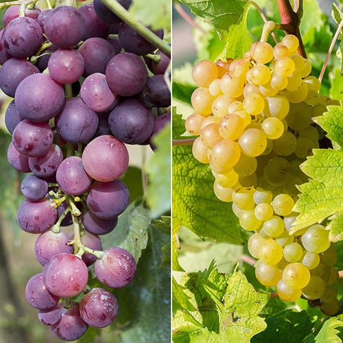 Pair of Grape Vines