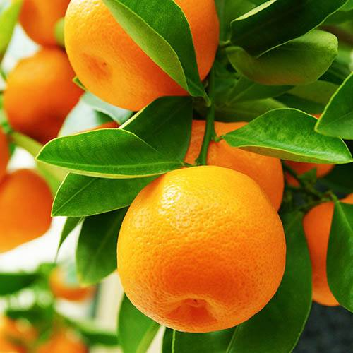Mandarin Citrus Tree 6L