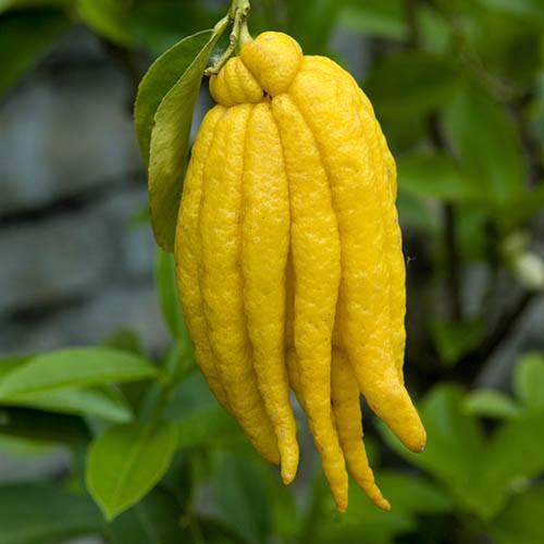 Buddha Hand Citrus Tree 6L